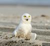 20131220_Snowy Owl_1367
