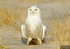 20131220_Snowy Owl_1216