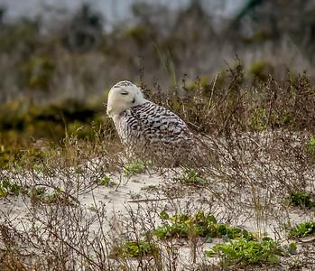 2014-01-06_Snowy Owl_Little Talbot Island,SP,Fl _IMG_3089
