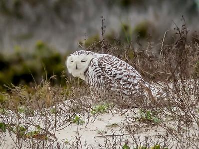 2014-01-06_Snowy Owl_Little Talbot Island,SP,Fl _IMG_3104