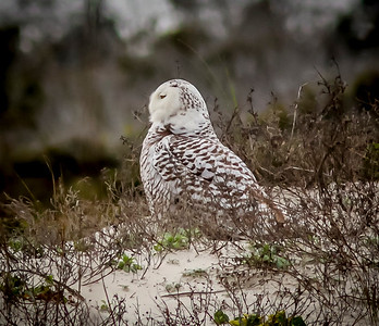2014-01-06_Snowy Owl_Little Talbot Island,SP,Fl _IMG_3195
