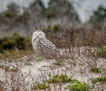 2014-01-06_Snowy Owl_Little Talbot Island,SP,Fl _IMG_3101