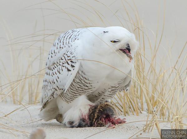 20131220_Snowy Owl_615