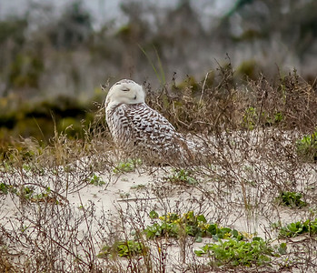 2014-01-06_Snowy Owl_Little Talbot Island,SP,Fl _IMG_3090