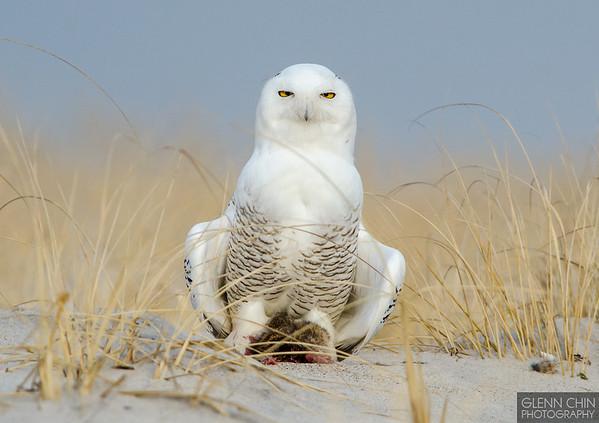 20131220_Snowy Owl_959