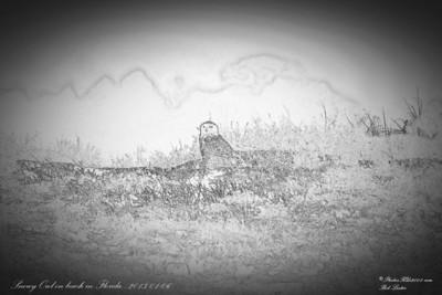 Snowy Owl_2014-01-06_Little Talbot Island,SP,Fl  _IMG_3617__