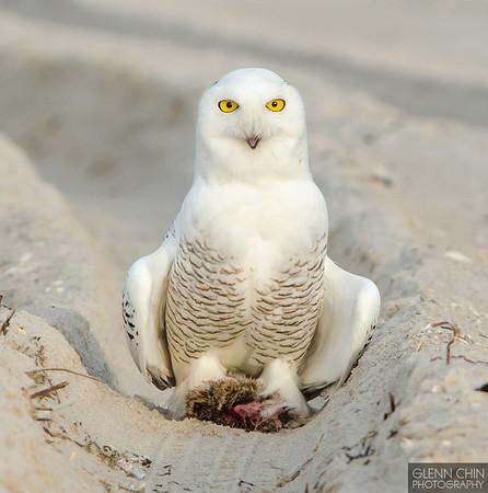 20131220_Snowy Owl_1403