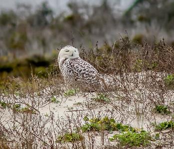 2014-01-06_Snowy Owl_Little Talbot Island,SP,Fl _IMG_3091