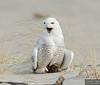 20131220_Snowy Owl_92