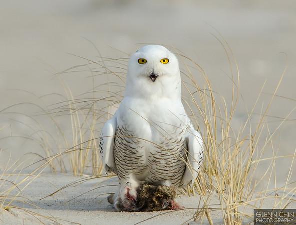 20131220_Snowy Owl_166