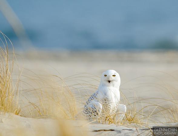 20131220_Snowy Owl_19