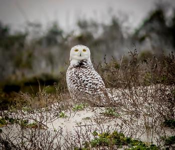 2014-01-06_Snowy Owl_Little Talbot Island,SP,Fl _IMG_3154