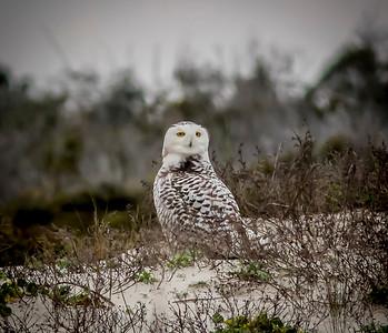 2014-01-06_Snowy Owl_Little Talbot Island,SP,Fl _IMG_3168