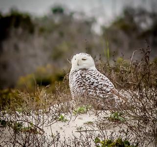 2014-01-06_Snowy Owl_Little Talbot Island,SP,Fl _IMG_3207
