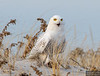 20131220_Snowy Owl_1835