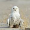 20131220_Snowy Owl_153