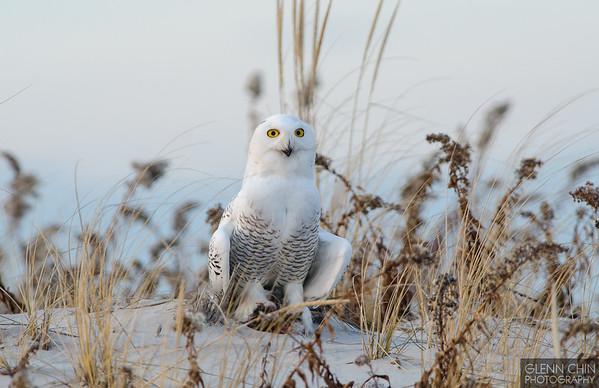 20131220_Snowy Owl_1931