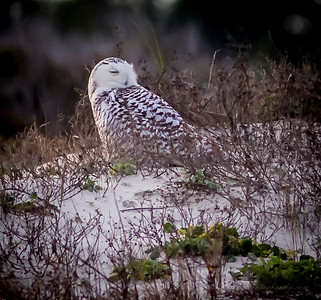 2014-01-06_Snowy Owl_Little Talbot Island,SP,Fl  _IMG_3623