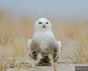 20131220_Snowy Owl_646