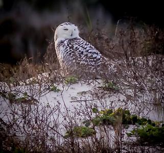 2014-01-06_Snowy Owl_Little Talbot Island,SP,Fl _IMG_3620