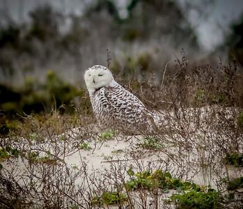 2014-01-06_Snowy Owl_Little Talbot Island,SP,Fl _IMG_3107