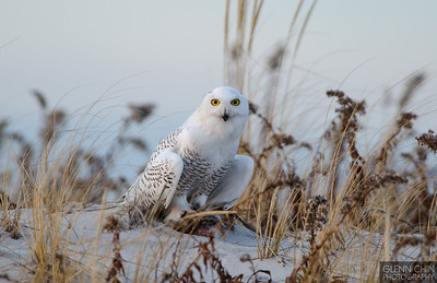 20131220_Snowy Owl_1953