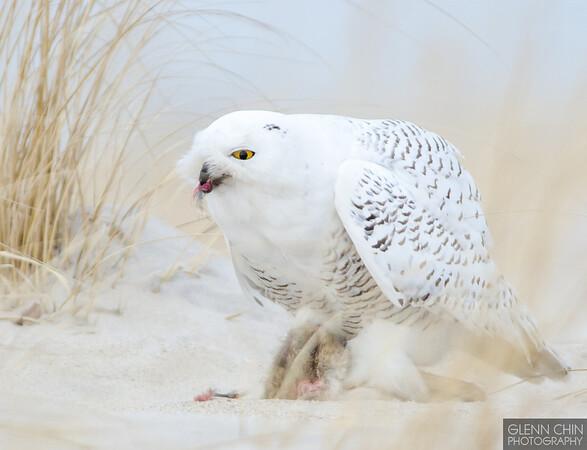 20131220_Snowy Owl_661