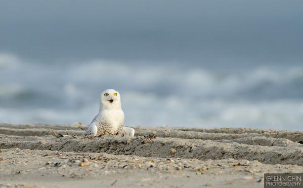 20131220_Snowy Owl_1300