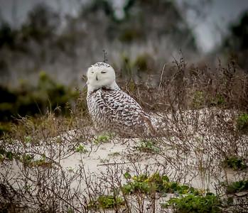 2014-01-06_Snowy Owl_Little Talbot Island,SP,Fl _IMG_3106