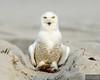 20131220_Snowy Owl_1427