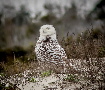 2014-01-06_Snowy Owl_Little Talbot Island,SP,Fl _IMG_3179