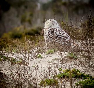 2014-01-06_Snowy Owl_Little Talbot Island,SP,Fl _IMG_3233