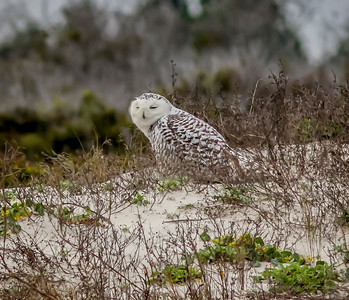 2014-01-06_Snowy Owl_Little Talbot Island,SP,Fl _IMG_3105