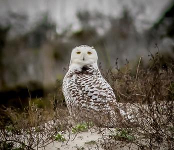 2014-01-06_Snowy Owl_Little Talbot Island,SP,Fl _IMG_3174