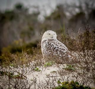 2014-01-06_Snowy Owl_Little Talbot Island,SP,Fl _IMG_3212