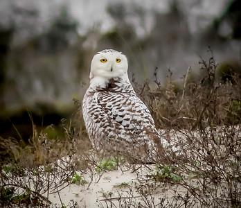 2014-01-06_Snowy Owl_Little Talbot Island,SP,Fl _IMG_3171
