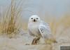 20131220_Snowy Owl_665
