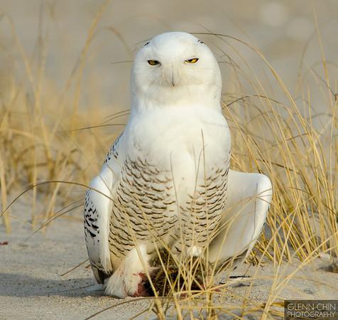 20131220_Snowy Owl_1062