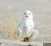 20131220_Snowy Owl_28