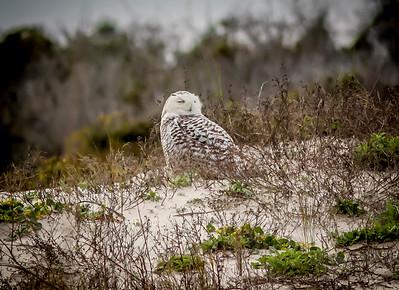 2014-01-06_Snowy Owl_Little Talbot Island,SP,Fl _IMG_3222