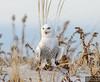 20131220_Snowy Owl_1857