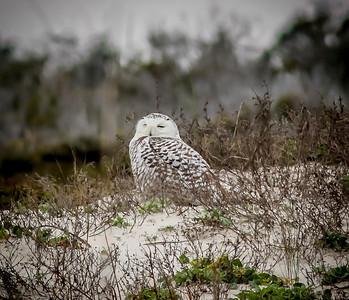 2014-01-06_Snowy Owl_Little Talbot Island,SP,Fl _IMG_3126