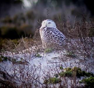 2014-01-06_Snowy Owl_Little Talbot Island,SP,Fl _IMG_3554