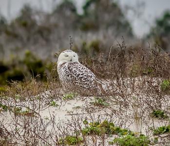 2014-01-06_Snowy Owl_Little Talbot Island,SP,Fl _IMG_3095