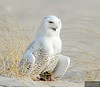 20131220_Snowy Owl_33
