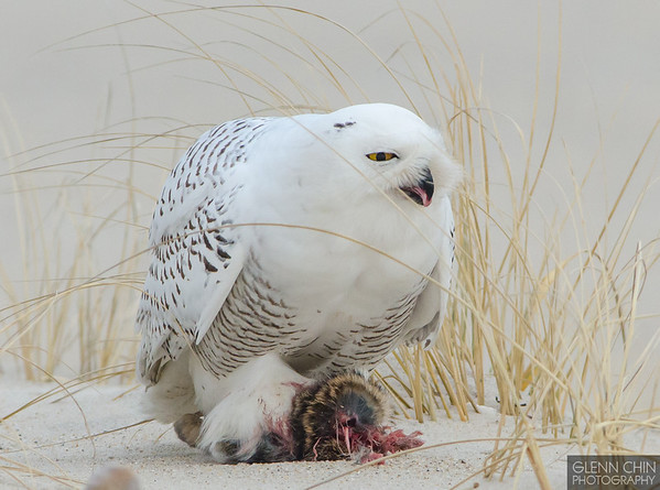 20131220_Snowy Owl_613