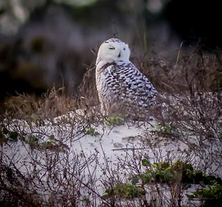 2014-01-06_Snowy Owl_Little Talbot Island,SP,Fl _IMG_3608
