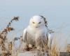 20131220_Snowy Owl_1824