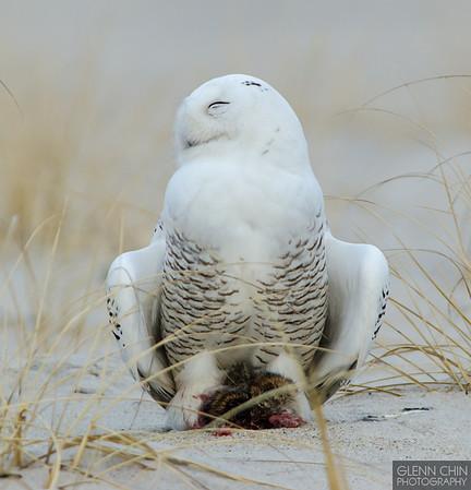 20131220_Snowy Owl_824