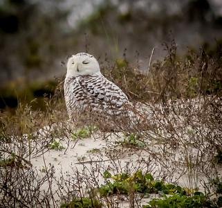 2014-01-06_Snowy Owl_Little Talbot Island,SP,Fl _IMG_3224